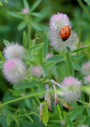 Paula Tohline Calhoun - Lady Bug Among the...