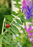 Paula Tohline Calhoun - Lady Bug Among the Wild...