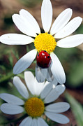 Lady Bug Framed Prints - Lady Bug and Daisy Framed Print by Nick Gustafson