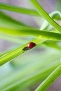 Jennifer Lamanca Kaufman - Lady Bug climbing a blade of grass