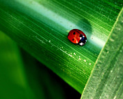 Robert Gallup - Lady Bug in the Corn