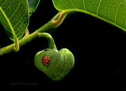 Annona Photo Prints - Lady Bug on Pond Apple Print by Grace Dillon