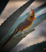 Small Animals Posters - Lady Cardinal  Poster by Saija  Lehtonen