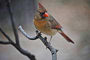 Types Of Birds Prints - Lady Cardinal Print by Skip Willits