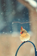 Cardinals In Snow Prints - Lady in Waiting Print by Kay Pickens