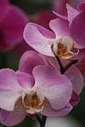 Close-up Pyrography - Lady Pink Orchid by Valia Bradshaw
