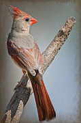 Female Northern Cardinal Posters - Lady Redbird Poster by Bonnie Barry