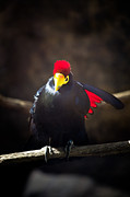 Swift Family - Lady Ross Turaco