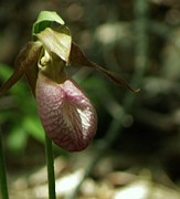 Christopher Mace - Lady Slipper Ll