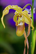 Eric Evans - Lady Slipper Orchid