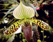 Lady Slipper Orchid Print by Julie Palencia