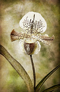 Robert Jensen Posters - Lady Slipper Orchid Poster by Robert Jensen