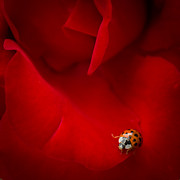 Ladybeetle Photos - Ladybird in Rose by Peta Thames