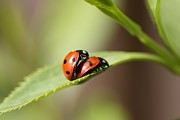 Mark Severn Metal Prints - Ladybird Love Metal Print by Mark Severn