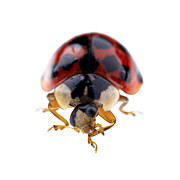 Glossy Framed Prints - Ladybird macro Framed Print by Jane Rix