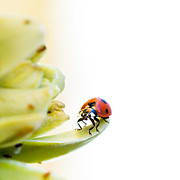 Leaf Spring Prints - Ladybird on desert flower Print by Jane Rix