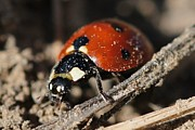 Lorri Crossno Art - Ladybug 2 by Lorri Crossno