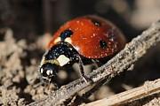 Ladybug 2 Print by Lorri Crossno