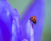 Waterlily Photos - Ladybug Adventure 8x10 by Priya Ghose