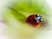 Vibrant Flower Framed Prints - Ladybug I Framed Print by Marco Oliveira