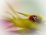 Vibrant Flower Framed Prints - Ladybug II Framed Print by Marco Oliveira