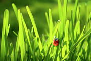 Green Grass Prints - Ladybug in Grass Print by Carlos Caetano