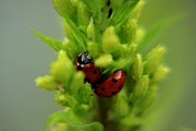 Daliya Photography - Ladybug in green grass