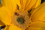 Garry Gay - Ladybug In Sunflower