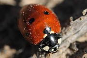 Lorri Crossno Framed Prints - Ladybug Framed Print by Lorri Crossno