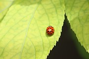 Ladybird Originals - Ladybug on an Elderberry Leaf by Leslie Parnell-Wilson