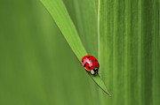 Red Leaf Posters - Ladybug on Leaf Poster by Sharon  Talson