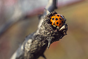 Autumn Photographs Pyrography - Ladybug on nest by Cristina-Velina Ion