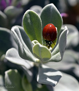 Ladybeetle Photos - Ladybug on Texas Sage by Chanda Henne