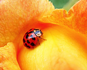 Flower Design Photos - Ladybug by Rona Black