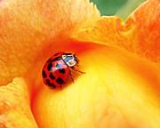 Ladybug Print by Rona Black