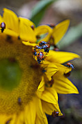 Yellow Bugs Prints - Ladybugs Close Up Print by Garry Gay