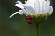 Ladybugs Posters - Ladybugs on Shasta Daisy Poster by Sharon  Talson