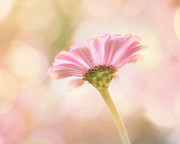 Soft Pink Metal Prints - Ladylike Metal Print by Amy Tyler