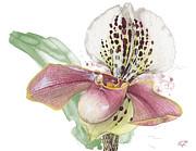 Ladys Slipper - Orchid 14 - Elena Yakubovich Print by Elena Yakubovich