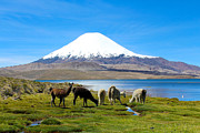 Alpacas Framed Prints - Lake Chungara Chilean Andes Framed Print by Kurt Van Wagner