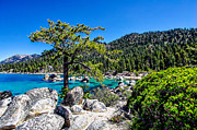 Scott McGuire - Lake Tahoe Bonsai Tree