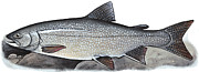 Trout Mixed Media Prints - Lake Trout Print by Art  MacKay