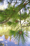 Pine Needles Framed Prints - Lake View With Ponderosa Pine Framed Print by Ben and Raisa Gertsberg