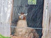 Judy Via-Wolff - Lama in the Rain