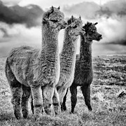 Sheep Prints Posters - Lama lineup Poster by John Farnan