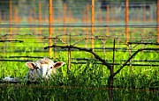 Grape Vineyard Originals - Lamb in Vineyard by Gayle Pepper