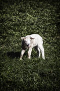 Rural Scenes Acrylic Prints - Lamb Acrylic Print by Joana Kruse