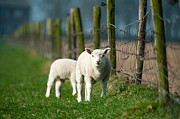 Limburg Posters - Lambs grazing in spring Poster by Jan Marijs