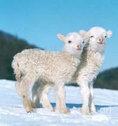 Hans Reinhard - Lambs