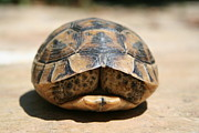 Tracey Harrington-Simpson - Land Turtle Hiding In Its Shell